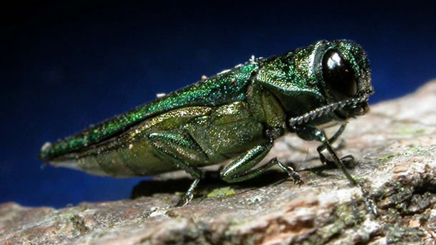 Beware the Emerald Ash Borer!