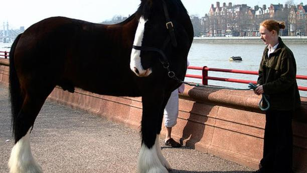 Ancestors of the Shire Horse Breed Dates Back to the Middle Ages